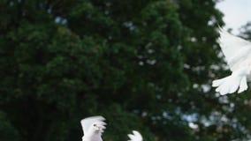 两飞行的鸠,在天空的鸽子 人们-发布白色鸟的新婚佳偶 股票视频