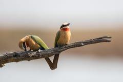 两食蜂鸟坐分支 库存图片