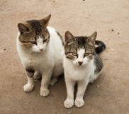 两饥饿和邪恶的猫 免版税库存图片