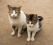 两饥饿和邪恶的猫 库存照片