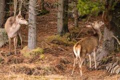 两马鹿吃从一棵树的鹿elaphus吠声在Glencoe 图库摄影