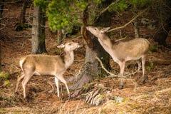 两马鹿吃从树的鹿elaphus吠声在森林边缘 库存照片
