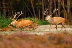 两马鹿, rutting季节, Hoge Veluwe,荷兰 鹿雄鹿,吼叫在木头,动物之外的庄严强有力的成人动物  免版税图库摄影
