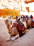 两骆驼坐Petra沙漠  图库摄影