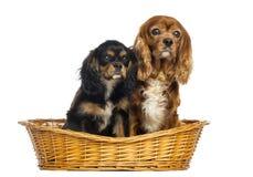 两骑士国王查尔斯狗、11年和6个月 免版税库存照片
