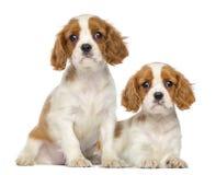 两骑士国王查尔斯Puppies、2个月,开会和说谎 库存图片