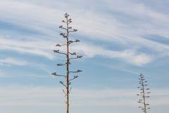 两高背景龙舌兰植物绽放在开花以后偷偷靠近,死,反对与云彩的蓝天 免版税库存照片