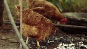 两鸡走在泥的在一个肮脏的水坑旁边,有机禽畜 股票录像