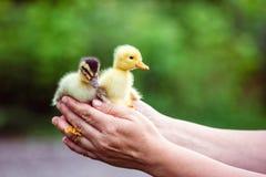 两鸭子在一个人的手上 库存图片