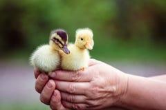 两鸭子在一个人的手上 图库摄影