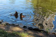 两鸭子的赃物 库存图片