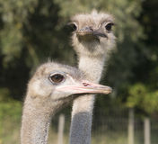 头两鸸或驼鸟 免版税库存照片