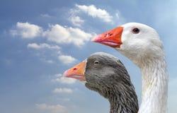 两鹅侧视图  免版税图库摄影