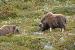 两麝牛在挪威的Dovrefjell国家公园 免版税库存图片