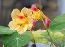 两黄色和在关闭的红色金莲花在一个庭院里在秋天 免版税库存照片