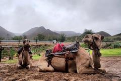 两头休息的骆驼 免版税图库摄影