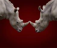 两头作战的犀牛 免版税库存照片