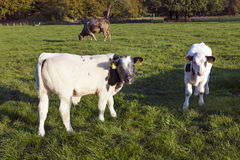 两年轻公牛calfs在有母牛的绿色草甸在背景中 免版税库存图片