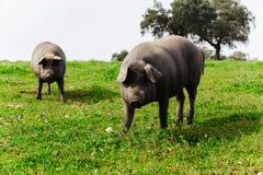 两头利比亚猪在一个绿色草甸,看照相机 免版税库存照片