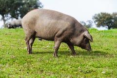 两头利比亚猪在一个绿色草甸,看照相机 库存照片