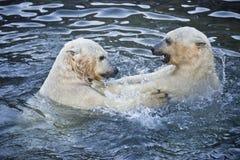两头北极熊使用 免版税库存照片