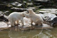 两头北极熊 免版税库存图片