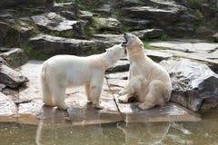 两头北极熊 免版税库存照片