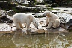 两头北极熊 库存照片