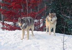 两头北美灰狼 免版税库存照片