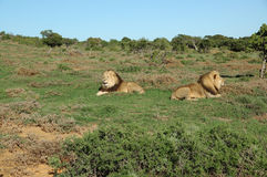 两头卡拉哈里狮子在Addo大象国家公园 免版税库存图片