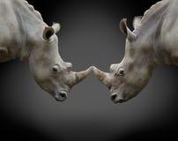 两头反对的犀牛 库存图片
