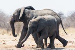 两头大象、成人和孩子 免版税库存照片