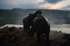 两头大象公牛互动并且沟通,当戏剧战斗时 免版税图库摄影