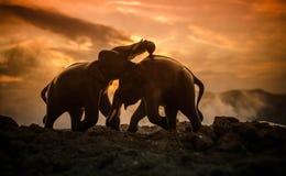 两头大象公牛互动并且沟通,当戏剧战斗时 库存图片