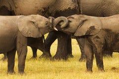 两头年轻大象战斗 免版税库存图片