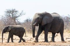 两头大象,成人和孩子,在途中对waterhole 免版税库存照片