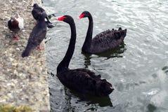 两黑天鹅和三只鸽子 免版税库存图片