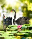 两黑天鹅的图象在公园特写镜头的 库存照片