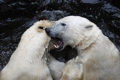 两头嬉戏的北极熊在动物园里 库存图片