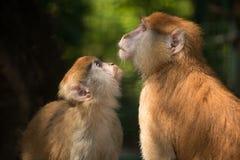 两猴子的联系 免版税库存图片