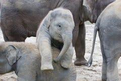 两头婴孩大象使用 免版税库存图片
