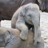 两头婴孩大象使用 免版税图库摄影