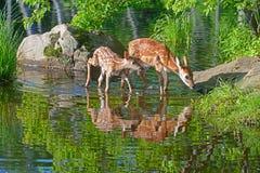 两婴孩白被盯梢的鹿水反射 免版税库存图片