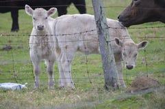 两头小小牛 免版税库存照片