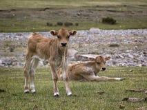 两头小牛在牧场地 图库摄影