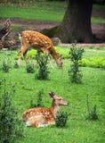 两头小鹿是休息和吃草 免版税库存照片