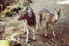 两头小鹿 免版税库存图片