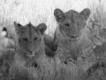 两头少年狮子 免版税库存图片