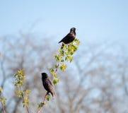 两寻常的椋鸟或的八哥类坐枝杈 争吵 免版税库存照片