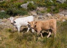 两头幼小愉快的小牛 库存照片